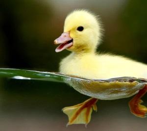 泳ぐアヒルの子